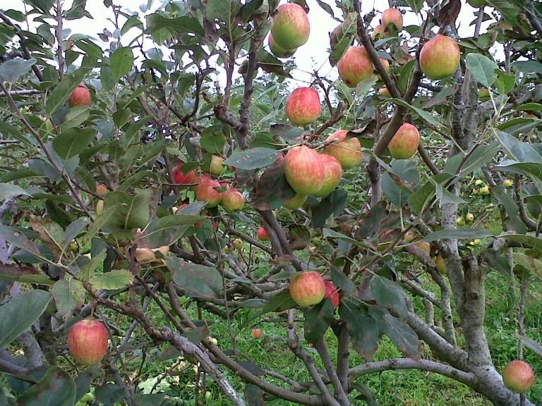 wisata petik apel di malang